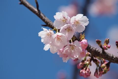 001_P3232085_e-620_50-200mm_大寒桜_武蔵野の森公園_20140323.jpg