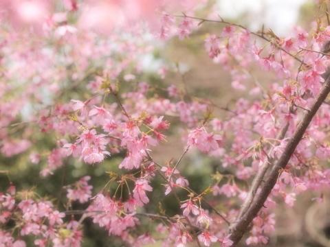 003_9354_ff_ep1_om35-80_豆桜_20120401.jpg