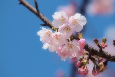 003_P3232085-ff_e-620_50-200mm_大寒桜_武蔵野の森公園_20140323.jpg