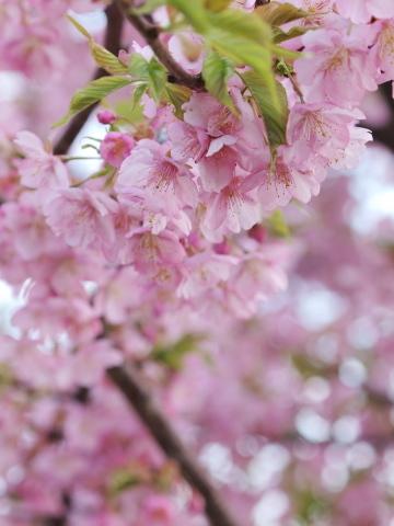 007_9408_ep1_om35-80_桜_20120401.jpg