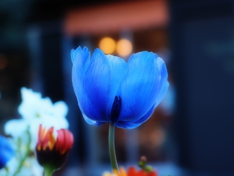 037_s_0679-t1-ff-3_xz1_紫の花_chofu_20110226.jpg