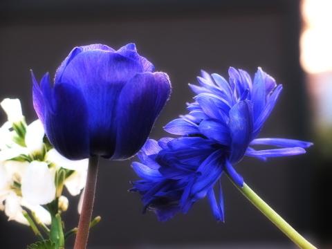 038_s_0681_xz1_紫の花_chofu_20110226.jpg