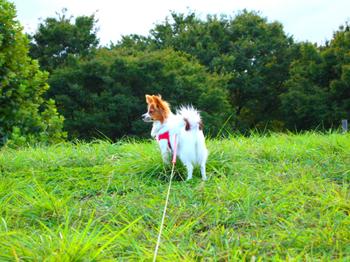 090905_Pop_P9050492_神代公園丘_lilia.JPG