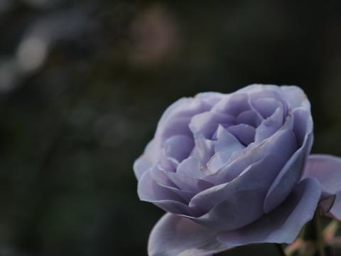 114_s_9228_ep1_50-200swd_薔薇_パープル_神代植物公園_20111127.jpg