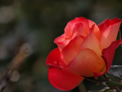 115_s_9217_ep1_50-200swd_薔薇_オレンジ_神代植物公園_20111127.jpg