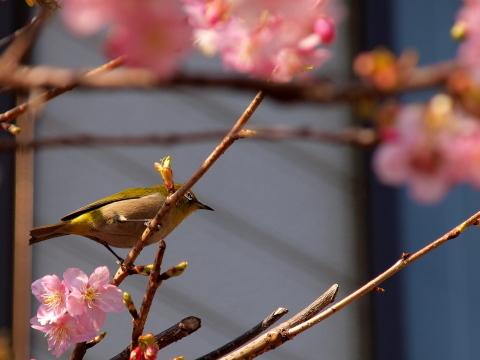 20100224_P2240925_E420_桜とメジロ_inagi.JPG