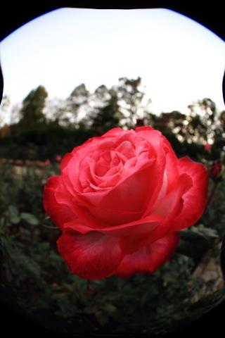 204_s_IMG_3497_60d_8-15feye_薔薇_赤_神代植物公園_20111127.JPG