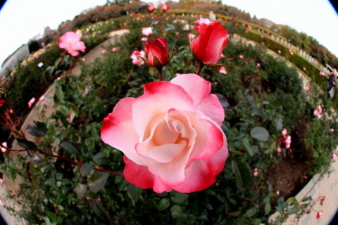 210_s_IMG_3488_60d_8-15feye_薔薇_ピンク白_神代植物公園_20111127.JPG