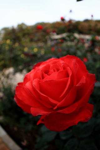 211_s_IMG_3508_60d_8-15feye_薔薇_赤_神代植物公園_20111127.JPG