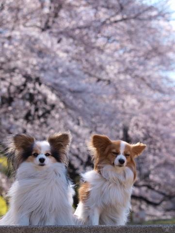 402_2376_e420_50-200_marililiと桜_よみうりランド.jpg