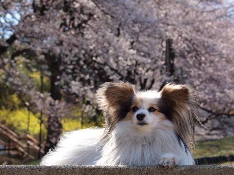404_2385_e420_50-200_mariaと桜_よみうりランド.jpg