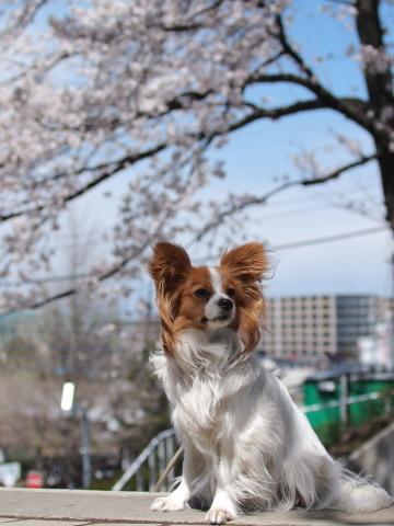 406_9524_ep1_35-80_liliaと桜_よみうりランド.jpg