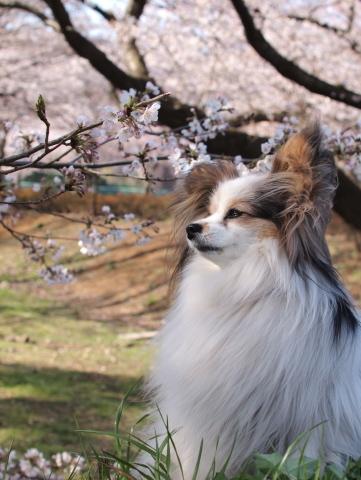 409_9582_ep1_35-80_mariaと桜_武蔵野の森公園.jpg