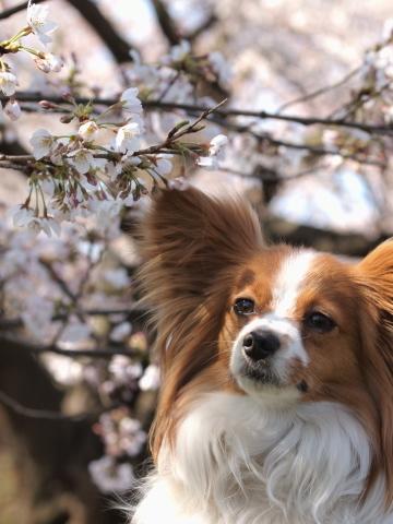 410_9613_ep1_35-80_liliaと桜_武蔵野の森公園.jpg