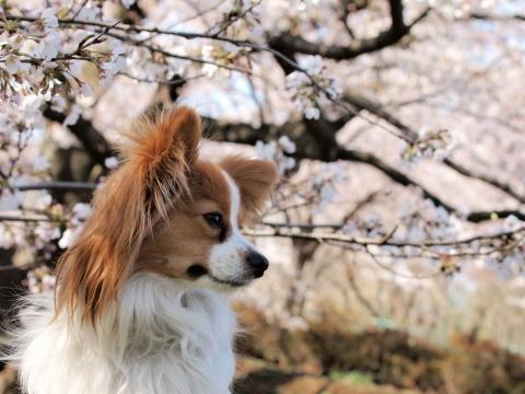 411_9619_ep1_35-80_liliaと桜_武蔵野の森公園.jpg