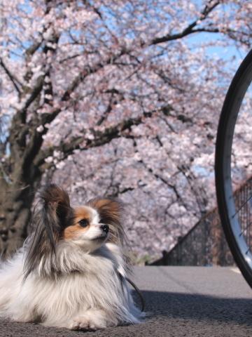 413_9689_ep1_35-80_mariaと桜_野川.jpg