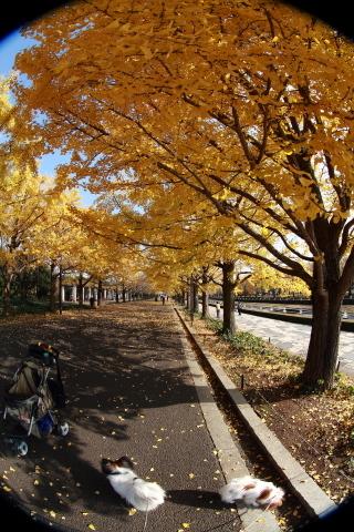 002_s_IMG_3529_60d_8-15feye_黄葉_昭和記念公園_20111130.JPG