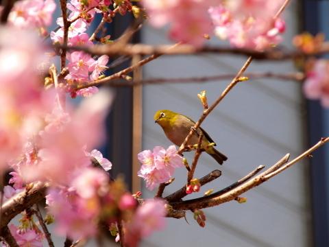 20100224_P2240924_E420_桜とメジロ_inagi.JPG