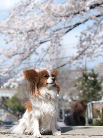 407_9531_ep1_35-80_liliaと桜_よみうりランド.jpg