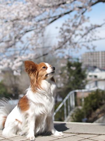 408_9534_ep1_35-80_liliaと桜_よみうりランド.jpg