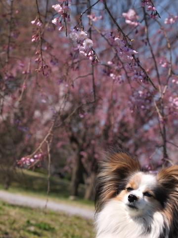 412_9653_ep1_35-80_mariaと桜_武蔵野の森公園.jpg