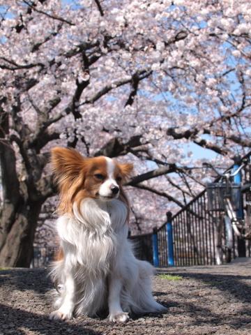414_9699_ep1_35-80_liliaと桜_野川.jpg