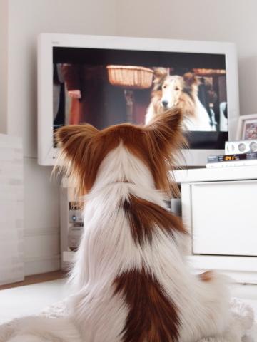 P5070891_名犬ラッシーを見るリリア1_20110507.jpg