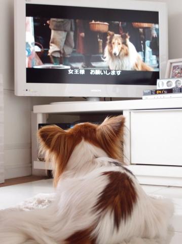 P5070892_名犬ラッシーを見るリリア2_20110507.jpg