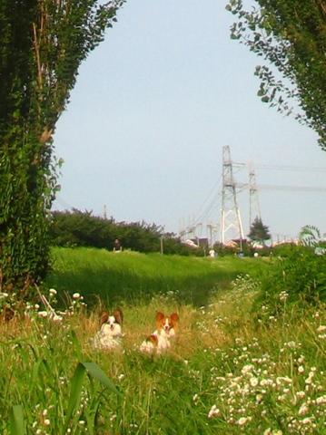 cs_IMG_1172_拡大版_ツインポプラと草原の犬マリリリ_tamagawa_20100719.JPG